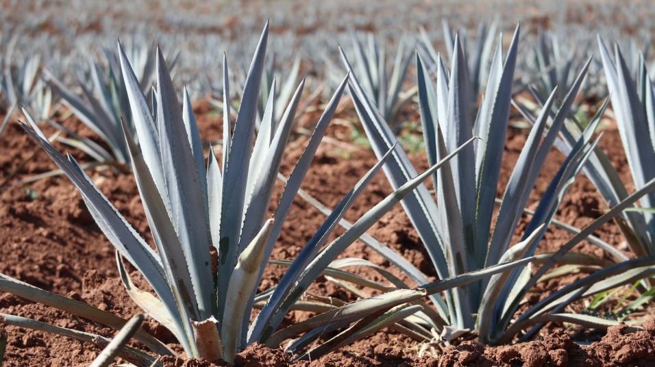 2018-02-25 Tequila_Guadalajara SUNDAY-17
