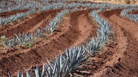 2018-02-25 Tequila_Guadalajara SUNDAY-18